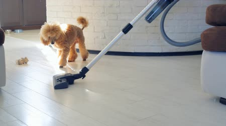 sujo : Dog playing with a brush of a working vacuum cleaner.