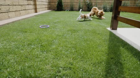 társ : Happy dogs playing in backyard. Slow motion.
