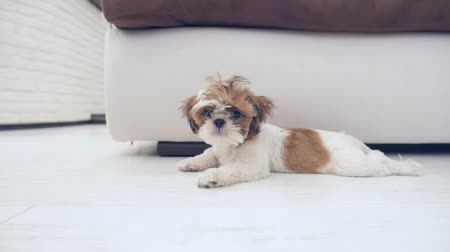 fiel : The puppy Shih Tzu is lying on the floor of the house.