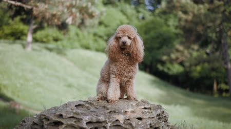 társ : Beautiful dog sits on stone in park. Slow motion.