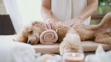 símbolo : Cinemagraph - Woman giving body massage to a dog. Spa set. Living foto. Stock Footage