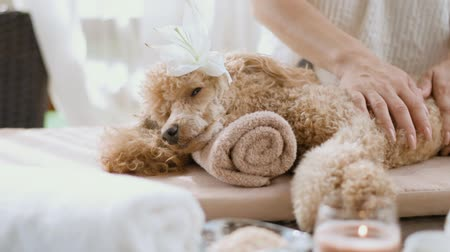 bal : Cinemagraph - Woman giving body massage to a dog. Spa set. Living foto. Stok Video