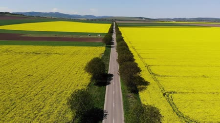Drone flying along beautiful road between rape fields. Aerial view of road an rape fields.