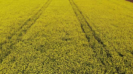 Drone flying across yellow oilseed or rape field in the countryside