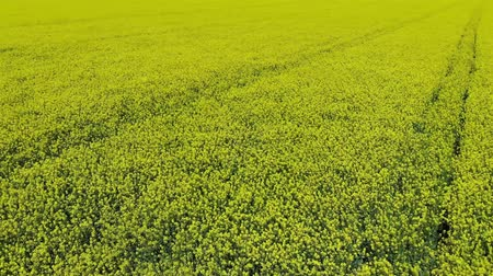 Aerial video of drone flying across field of oilseed or rapeseed yellow flowers.