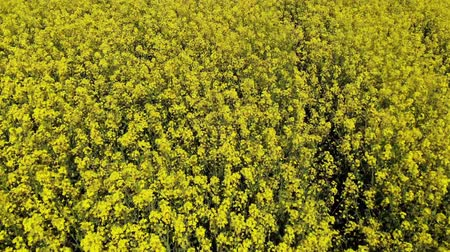 Drone flying very close over rape field in the countryside