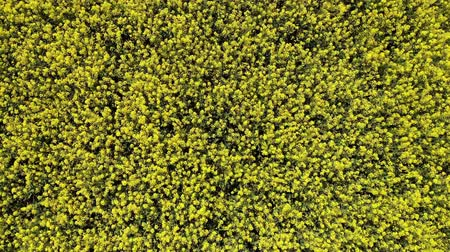 kolza tohumu : Aerial drone video clip flying across rapeseed field, fast motion over rape flowers