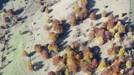 Aerial view of autumn pasture with haystacks. Flying drone over foliage tree and stacks of hay