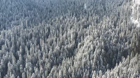 Aerial view of forest in winter: Frozen trees and snow covered evergreen forest.