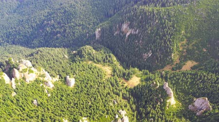 Evergreen forest trees viewed from above, drone aerial view