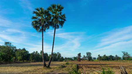 lanscape : Thailand, Twin Palm Trees Daylight Sky Stock Footage