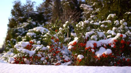 üvez ağacı : The sea buckthorn berries in the snow.