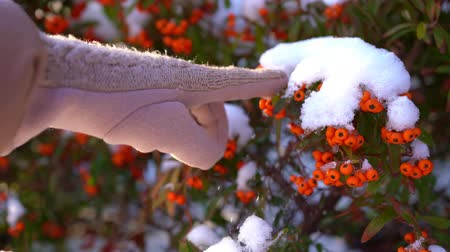 knock : The sea buckthorn berries in the snow. A female hand knocks snow.