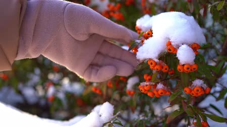 üvez ağacı : The sea buckthorn berries in the snow. A female hand knocks snow.