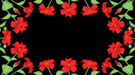 hibiscus : Alpha channel file-Hibiscus blooming flower frame, round Stock Footage