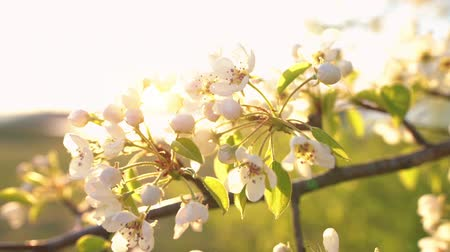 shaking wind : A branch of blooming apple tree on light spring wind at sunset. Close up of beautiful white flowers illuminated by evening sun. Slow motion.