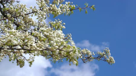 shaking wind : A branch of blooming apple tree on light spring wind over blue sky. Close up of beautiful white flowers. Stock Footage