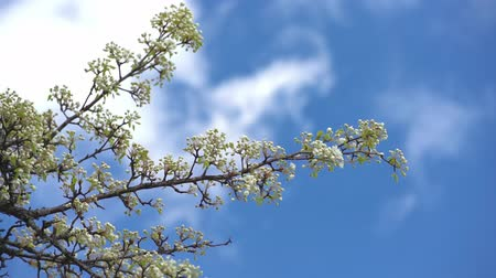 shaking wind : A branch of blooming apple tree on light spring wind over blue sky. Close up of beautiful white flowers. Slow motion. Stock Footage