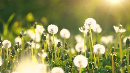 shaking wind : Dandelions on green sunny meadow. Summer concept. Stock Footage