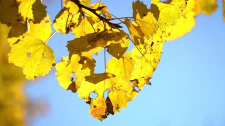 shaking wind : Sunny autumn aspen leaves over blue sky Stock Footage