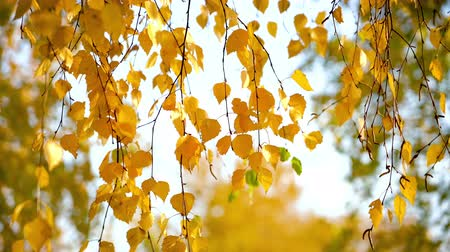 shaking wind : Sunny autumn birch leaves over blue sky Stock Footage