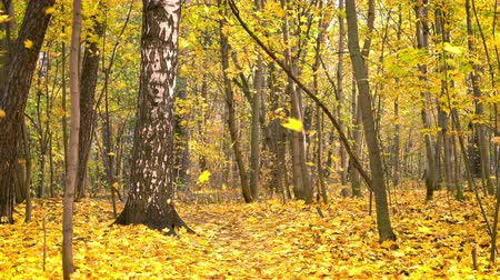birch : Leaf fall in the bright autumn park Stock Footage