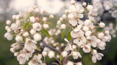 shaking wind : A branch of blooming apple tree on light spring wind. Close up of beautiful white flowers. Slow motion.
