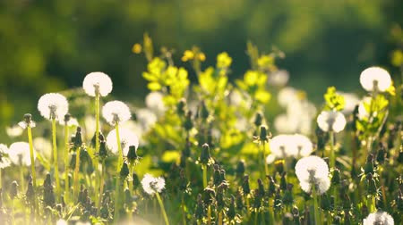 dmuchawiec : Dandelions on green sunny meadow. Summer concept. Wideo
