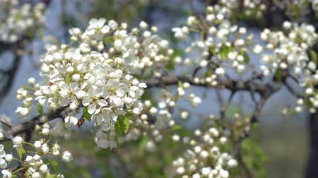 shaking wind : A branch of blooming apple tree on light spring wind. Close up of beautiful white flowers.