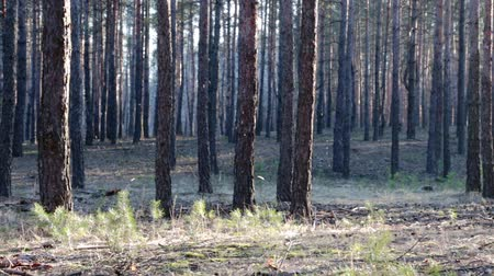 komary : flying mosquitos in the spring pine forest