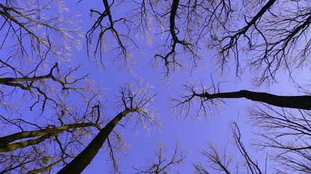 oak forest : High-angle view looking up to rotating oak trees on the spring blue sky background Stock Footage