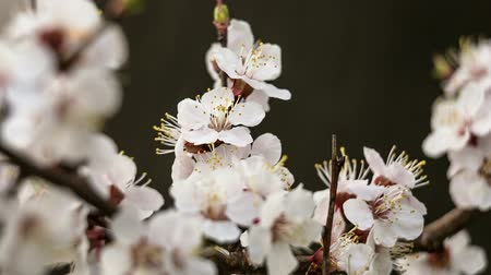 nisan : Apricot flowers on the branch, closeup Stok Video