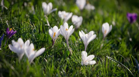 çiğdem : White and purple crocuses on green grass