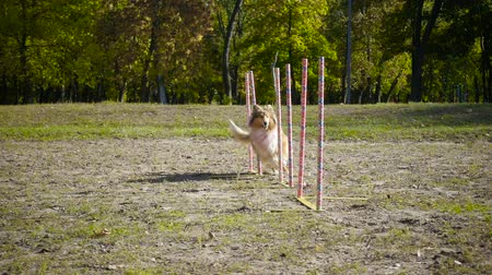 obediente : collie dog running slalom at agility training on the park