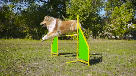 shetland : collie dog jumping at barrier on agility training