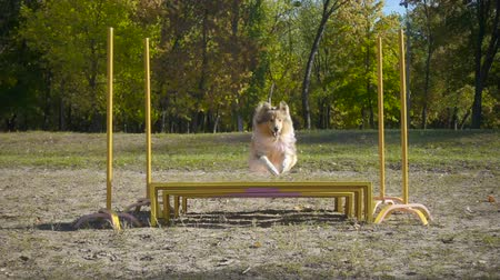 obediente : collie dog jumping at obstacle on agility training
