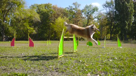 obediente : collie dog jumping at barrier on agility training
