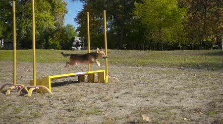 дворняжка : Mongrel dog jumping at obstacle
