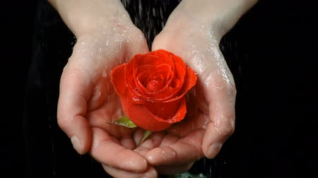 escarlate : Girls palms holding wet ruby-red rose under rain
