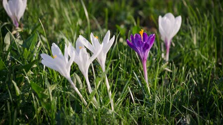 çiğdem : Purple and white crocuses on green grass Stok Video
