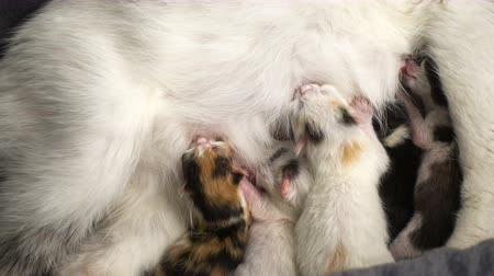 сосать : Five newborn kittens suck milk from his mother