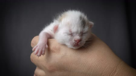 крошечный : White newborn kitten in woman hands Стоковые видеозаписи