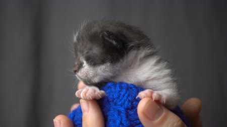 Gray newborn kitten in woman hands