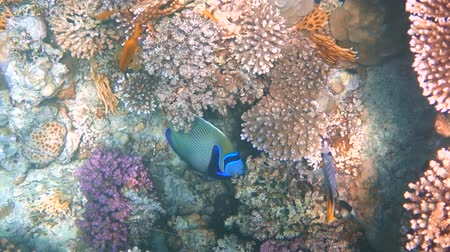 imparator : tropical fish feed on a coral reef in the Red sea