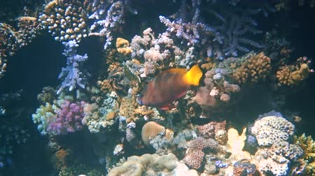 biodiverzitás : tropical fish feed on a coral reef in the Red sea