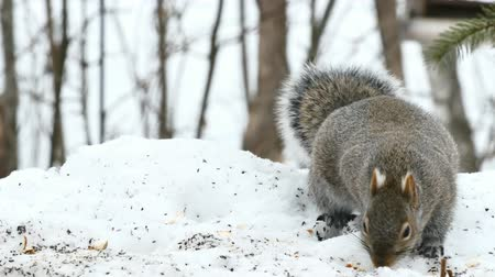 sciuridae : Gray Squirrel - sciurus carolinensis - eastern gray squirrel or grey squirrel - closeup on snow Stock Footage