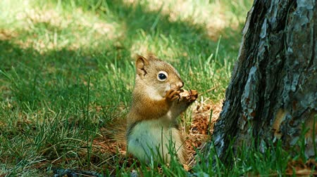 orzechy : Adorably cute young squirrel is eating a nut then scampers up the trunk of a pine tree. carolinensis eastern gray Green grass in background