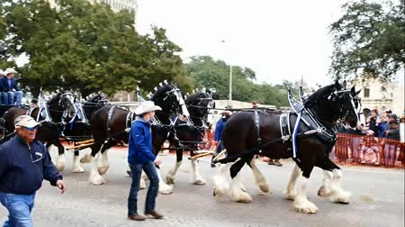 парад : San Antonio, Texas USA - February 3 2018: Clydesdale horses pull stagecoach past the historic Alamo during parade Стоковые видеозаписи