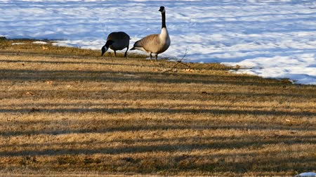 pastar : Canada Geese grazing on grass near snow in Bemidji Minnesota at sunset