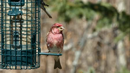 ave canora : Purple finch, Haemorhous purpureus, on bird feeder on a sunny day in Bemidji Minnesota